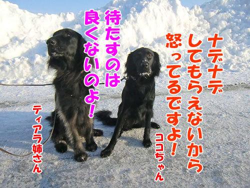 チャンスとティアラ+ココ-20130214-7-500.jpg