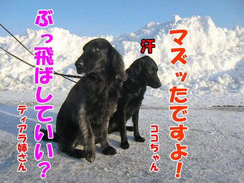 チャンスとティアラ+ココ-20130214-8-500.jpg
