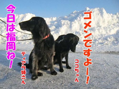 チャンスとティアラ+ココ-20130214-9-500.jpg