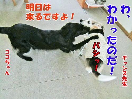 チャンスとティアラ+ココ-20130214-11-500.jpg