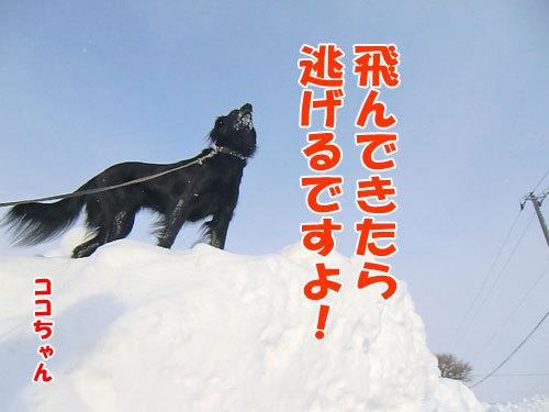 チャンスとティアラ+ココ-20120217-4-500.jpg