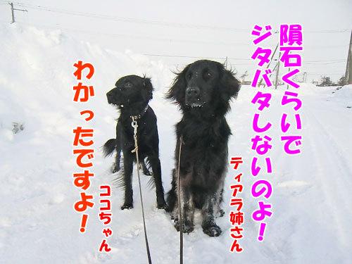チャンスとティアラ+ココ-20120217-5-500.jpg