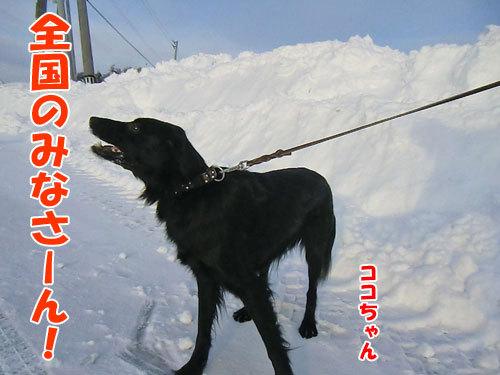 チャンスとティアラ+ココ-20130218-2-500.jpg