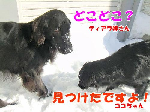 チャンスとティアラ+ココ-20130222-3-500.jpg