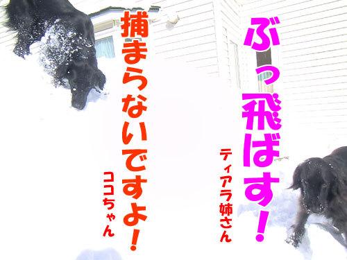 チャンスとティアラ+ココ-20130222-5-500.jpg