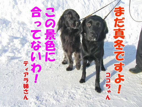 チャンスとティアラ+ココ-20130224-2-500.jpg