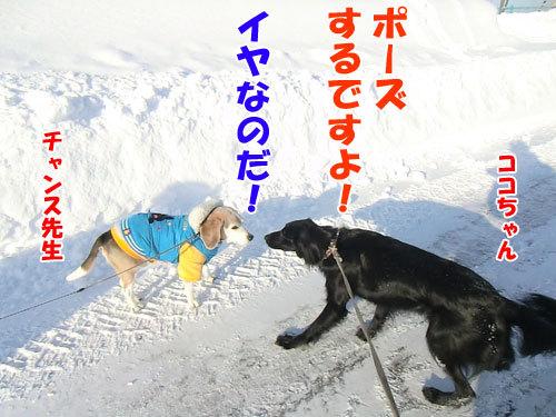 チャンスとティアラ+ココ-20130225-2-500.jpg