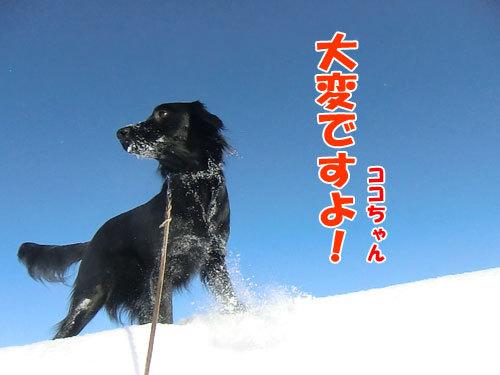 チャンスとティアラ+ココ-20130226-4-500.jpg