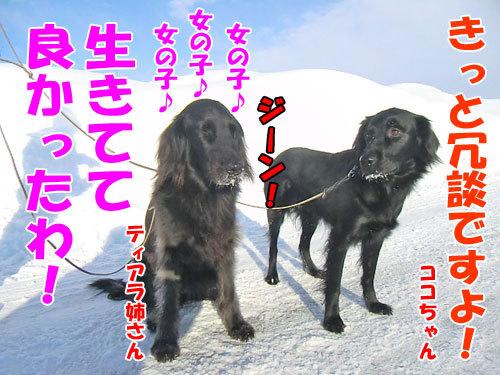 チャンスとティアラ+ココ-20130227-5-500.jpg