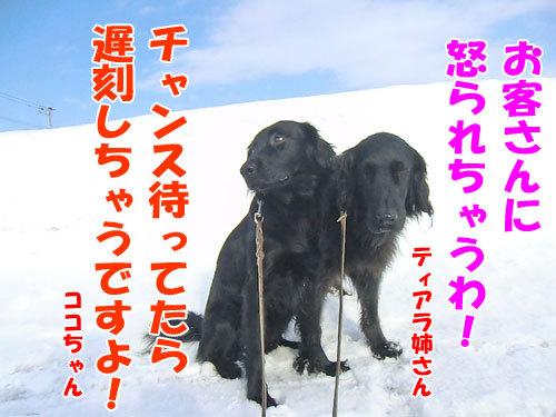 チャンスとティアラ+ココ-20130301-2-500.jpg