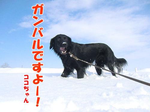 チャンスとティアラ+ココ-20130301-4-500.jpg