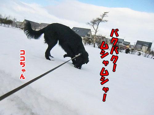 チャンスとティアラ+ココ-20130303-3-500.jpg