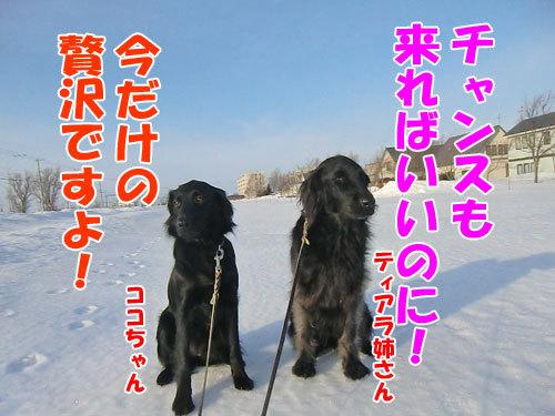 チャンスとティアラ+ココ-20130311-1-500.jpg