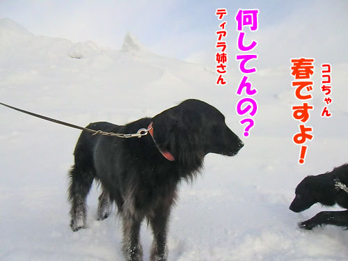 チャンスとティアラ+ココ-20130314-3-500.jpg