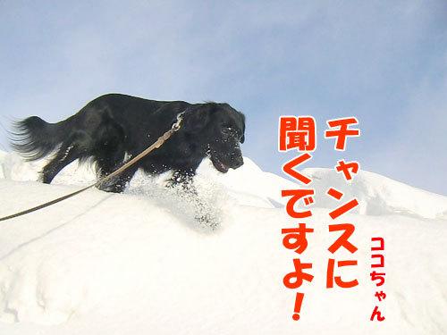 チャンスとティアラ+ココ-20130314-5-500.jpg