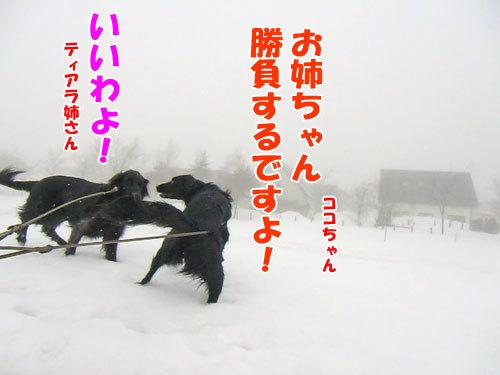 チャンスとティアラ+ココ-20130320-1-500.jpg