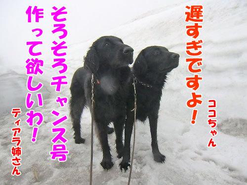 チャンスとティアラ+ココ-20130320-4-500.jpg