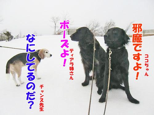 チャンスとティアラ+ココ-20130321-1-500.jpg