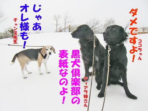 チャンスとティアラ+ココ-20130321-2-500.jpg