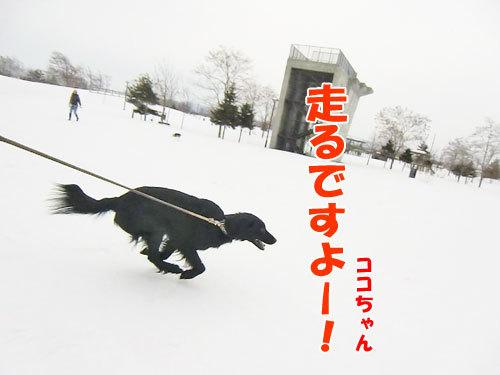 チャンスとティアラ+ココ-20130321-3-500.jpg