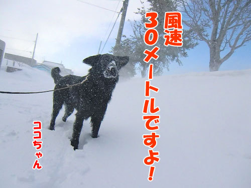 チャンスとティアラ+ココ-20130323-1-500.jpg