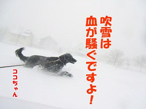 チャンスとティアラ+ココ-20130323-3-500.jpg