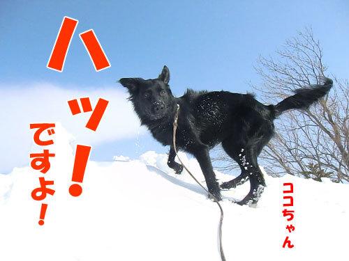 チャンスとティアラ+ココ-20130324-1-500.jpg