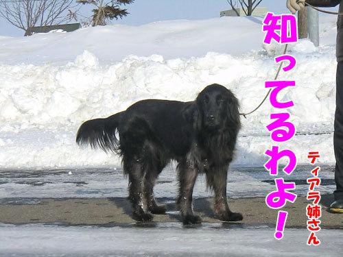 チャンスとティアラ+ココ-20130324-2-500.jpg