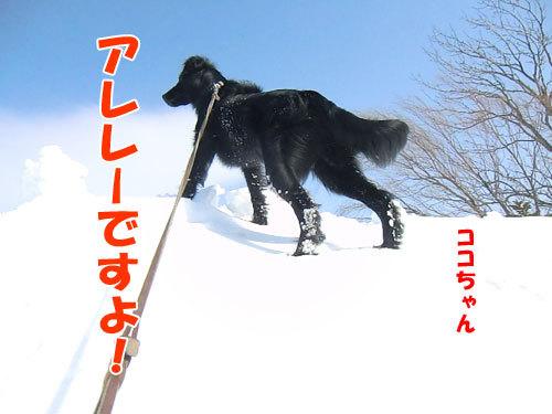 チャンスとティアラ+ココ-20130325-2-500.jpg
