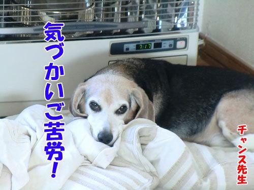 チャンスとティアラ+ココ-20130326-1-500.jpg