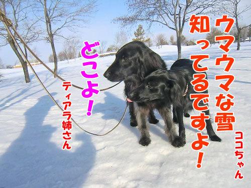 チャンスとティアラ+ココ-20130326-4-500.jpg