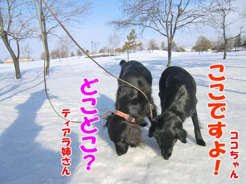 チャンスとティアラ+ココ-20130326-5-500.jpg