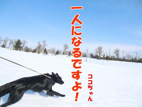 チャンスとティアラ+ココ-20130326-7-500.jpg