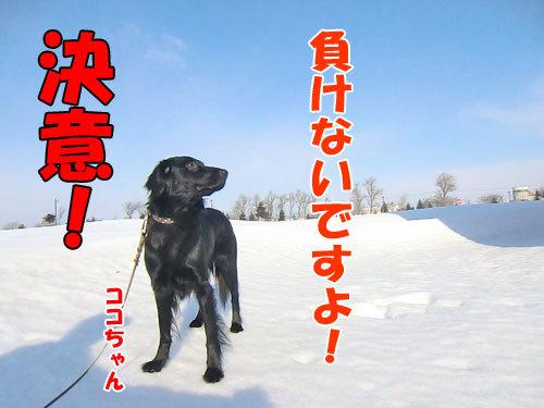 チャンスとティアラ+ココ-20130326-8-500.jpg