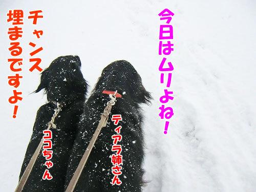 チャンスとティアラ+ココ-20130327-3-500.jpg