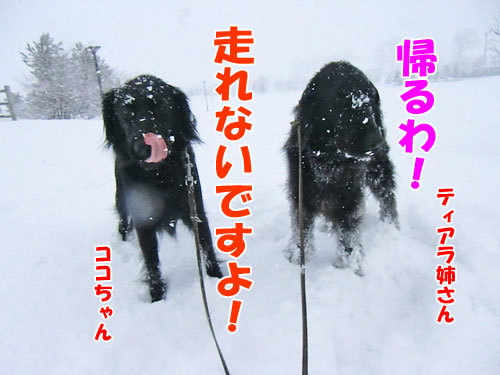 チャンスとティアラ+ココ-20130327-5-500.jpg