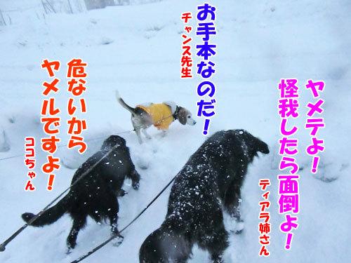 チャンスとティアラ+ココ-20130327-6-500.jpg