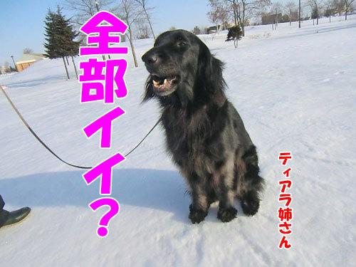 チャンスとティアラ+ココ-20130328-2-500.jpg