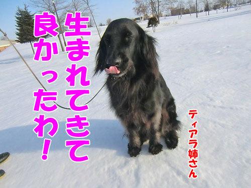 チャンスとティアラ+ココ-20130328-3-500.jpg