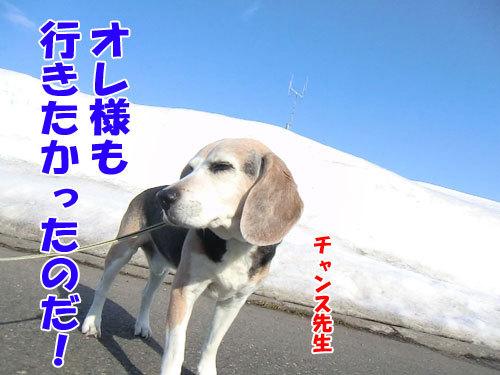 チャンスとティアラ+ココ-20130328-5-500.jpg