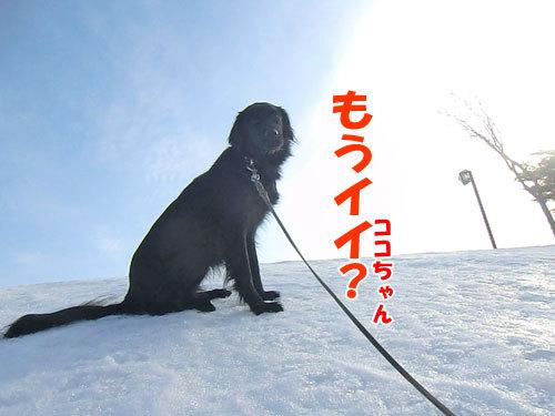 チャンスとティアラ+ココ-20130329-1-500.jpg