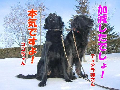チャンスとティアラ+ココ-20130329-5-500.jpg