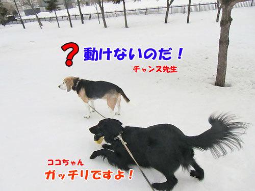 チャンスとティアラ+ココ-20130330-3-500.jpg