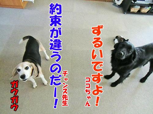 チャンスとティアラ+ココ-20130331-2-500.jpg