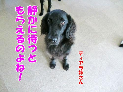 チャンスとティアラ+ココ-20130331-3-500.jpg