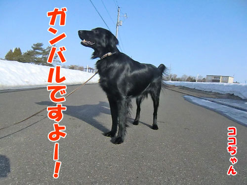 チャンスとティアラ+ココ-20130406-2-500.jpg