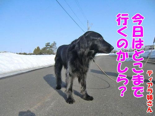 チャンスとティアラ+ココ-20130406-3-500.jpg