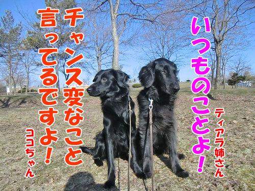 チャンスとティアラ+ココ-20130422-4-500.jpg