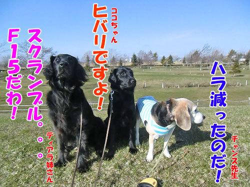 チャンスとティアラ+ココ-20130423-1-500.jpg