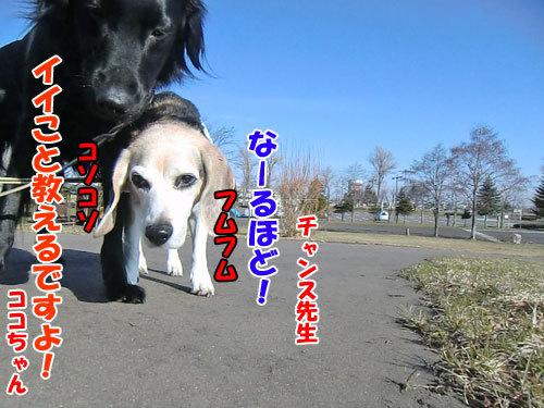 チャンスとティアラ+ココ-20130423-2-500.jpg